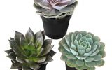 mini-succulents-home-depot