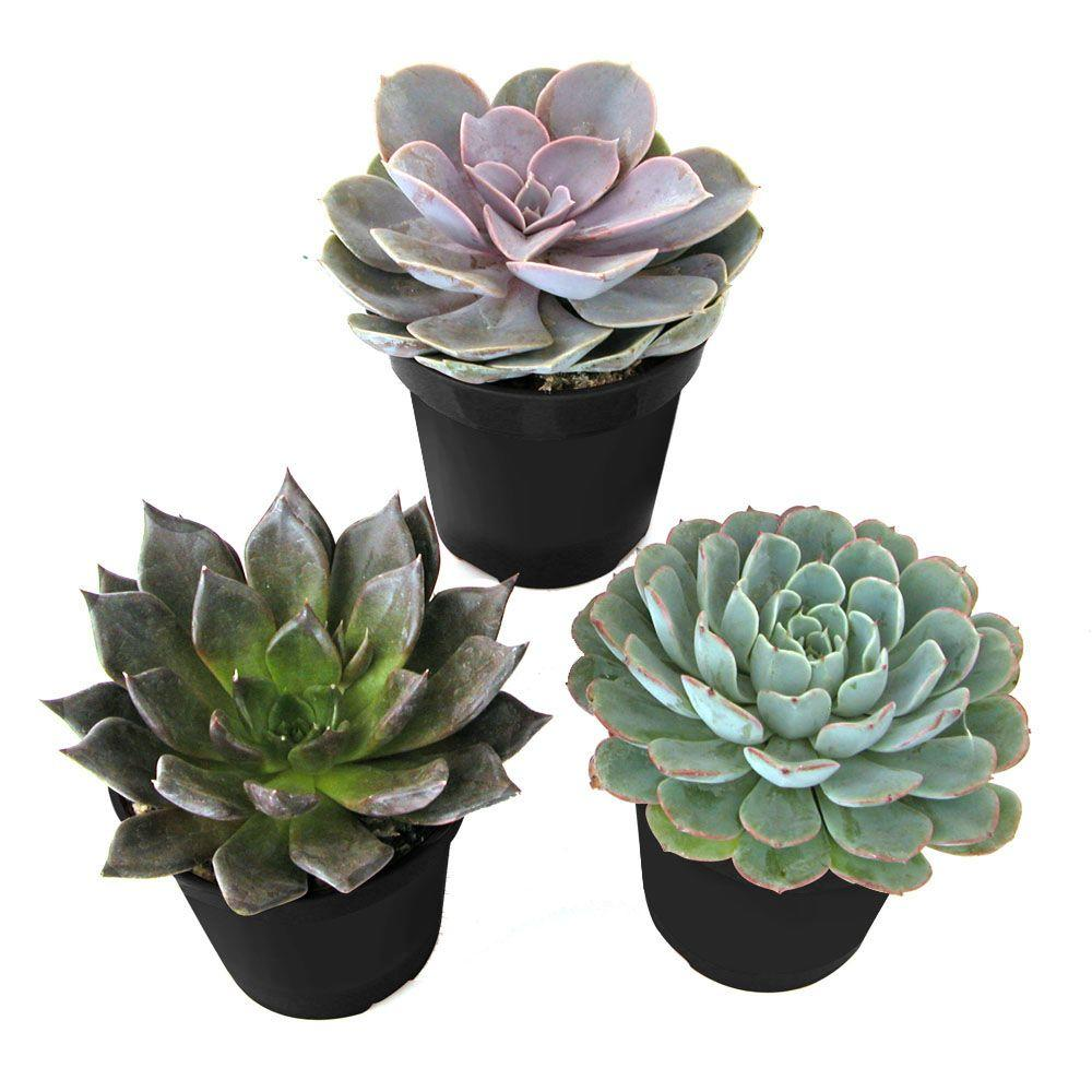 mini succulents home depot