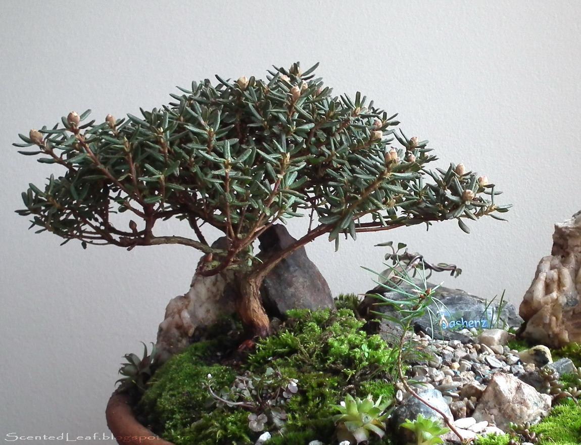 miniature azalea bonsai