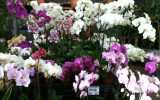 moth-orchid-care
