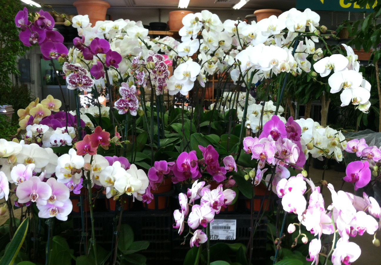 moth orchid care