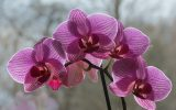 orchid-care-in-winter