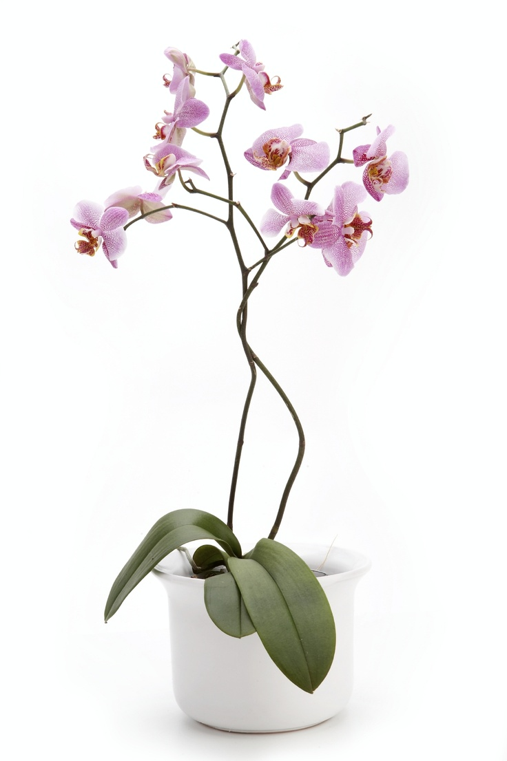 orchid care indoor