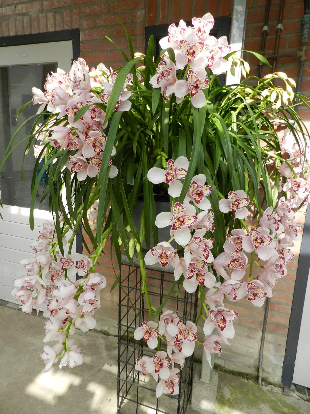 orchid flowers care