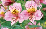 perennial-flower