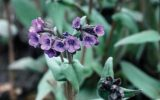 perennial-flowering-plants-for-shade