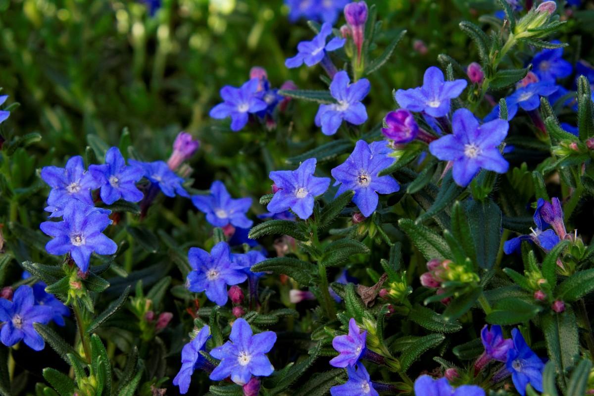 perennial flowering plants