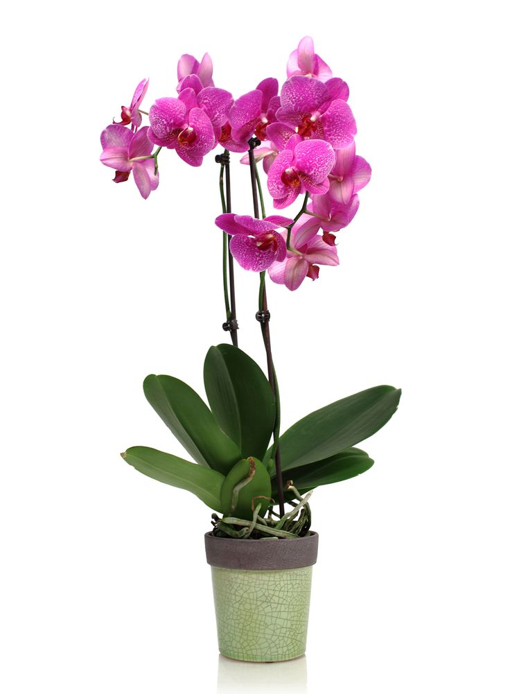 phalaenopsis orchid care and maintenance