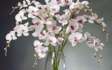 phalaenopsis-orchids