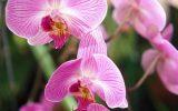 phalaenopsis-varieties