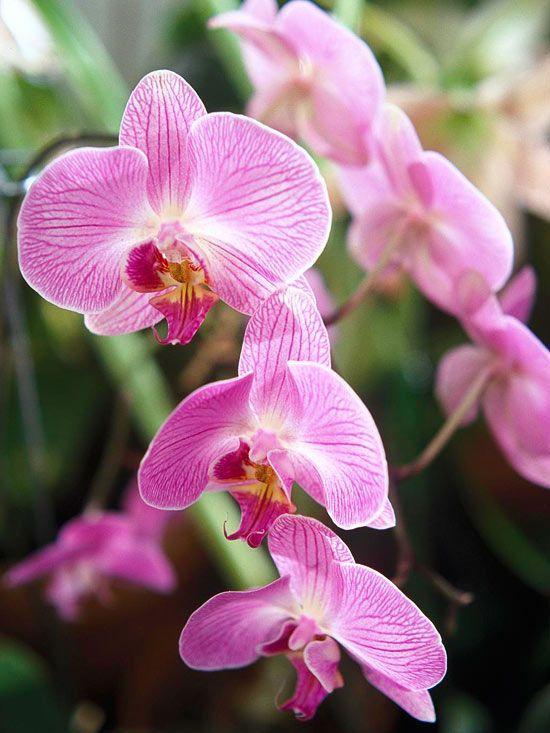 phalaenopsis varieties