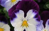 pictures-of-winter-flowers