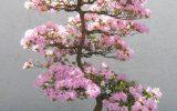 pink-azalea-tree