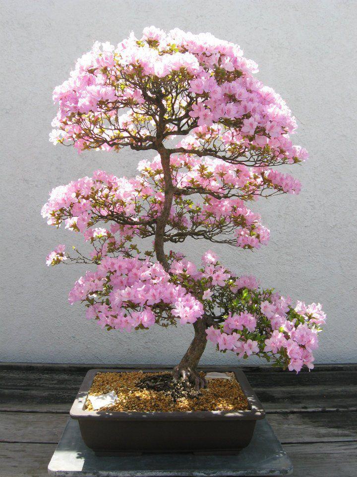 pink azalea tree