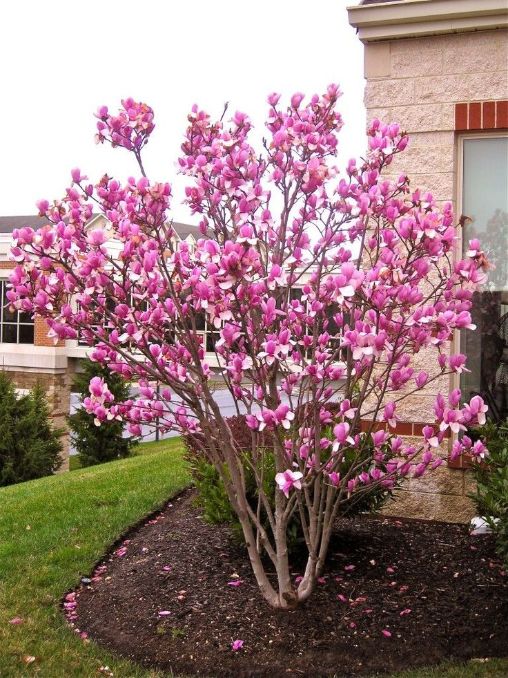 pink japanese magnolia tree