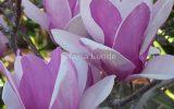 purple-japanese-magnolia-tree