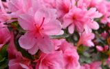 red-azalea-flower