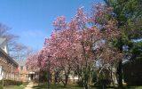 saucer-magnolia