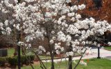 star-magnolia-bush