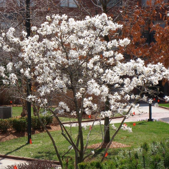 star magnolia bush