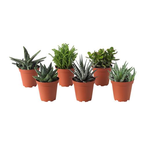 succulent asst