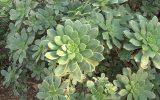 succulent-family-list