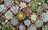 succulent-list