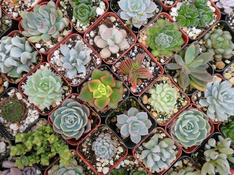 succulent list