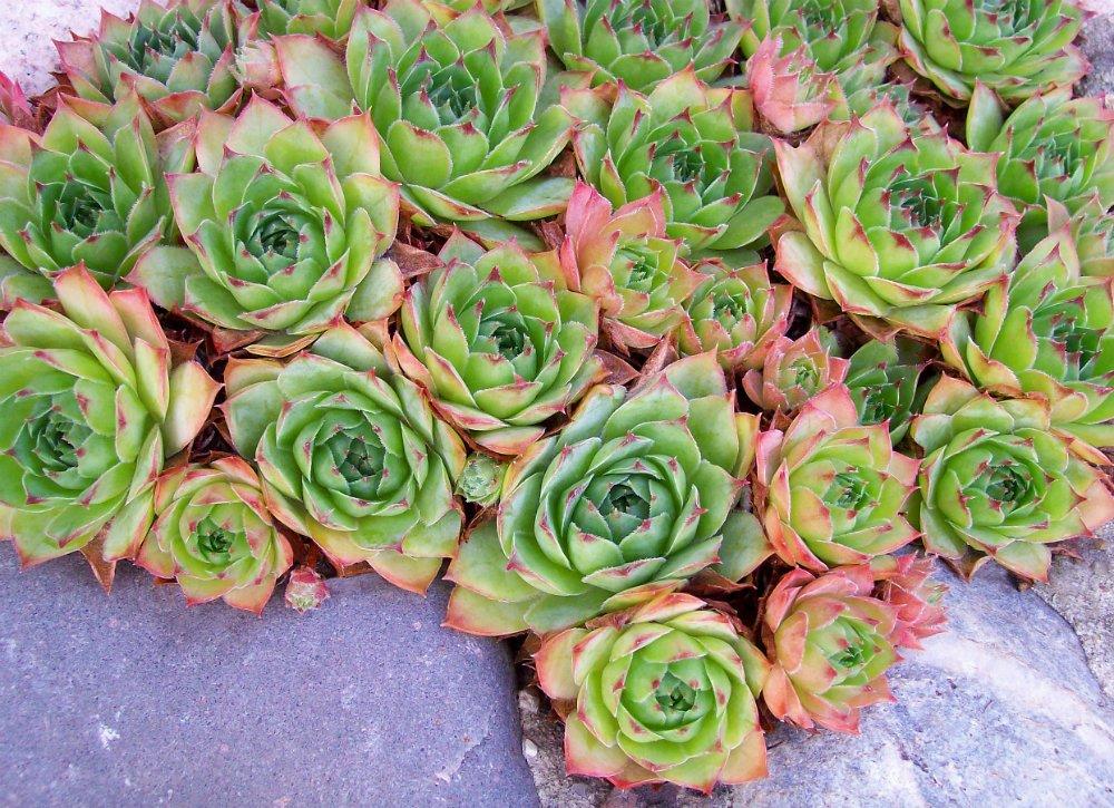 succulent plants in winter