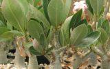 succulent-rose-plant