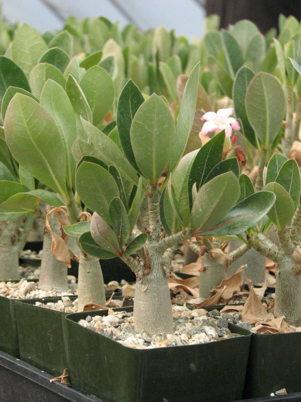 succulent rose plant