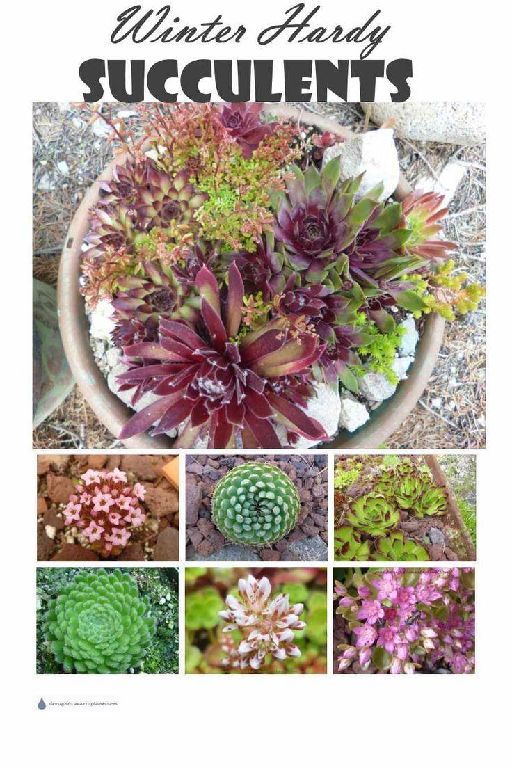 succulent winter