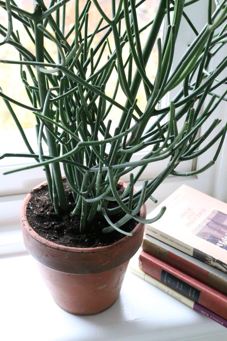 succulents cacti