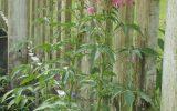 tall-shade-loving-plants