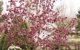 tulip-magnolia