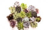 types-of-succulents