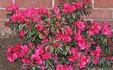 when-to-cut-back-azaleas