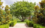 where-to-buy-a-magnolia-tree