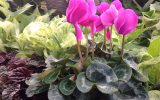 winter-flowering-plant