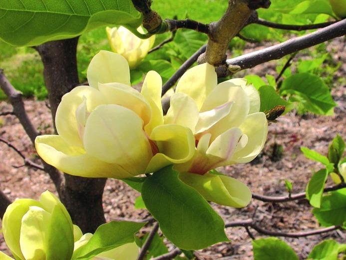 yellow magnolia trees