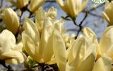 yellow-magnolias