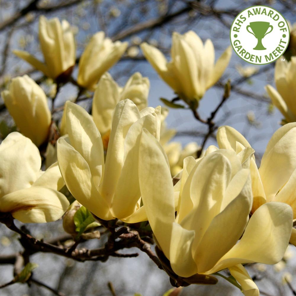 yellow magnolias